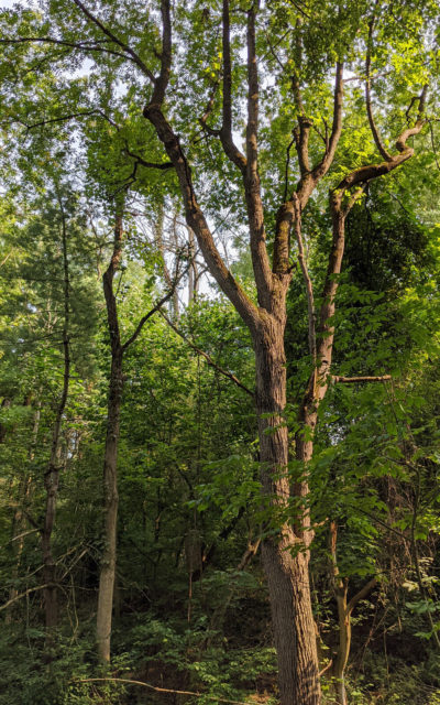 Old Growth Trees in the Summer :: I've Been Bit! Travel Blog