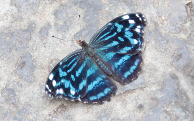Black and Blue Butterfly on the Stone Floor :: I've Been Bit! Travel Blog