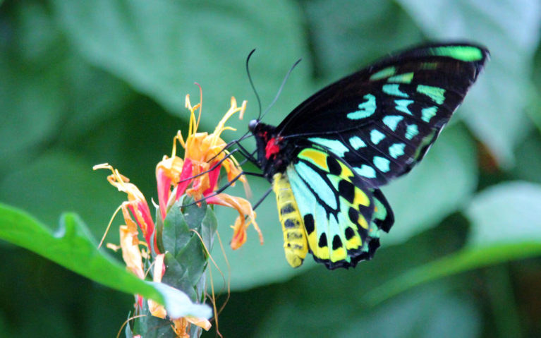 Black, Green and Yellow Butterfly on a Pink Flower :: I've Been Bit! Travel Blog