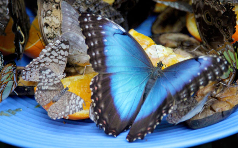 Blue and Black Butterfly on One of the Feeders :: I've Been Bit! Travel Blog