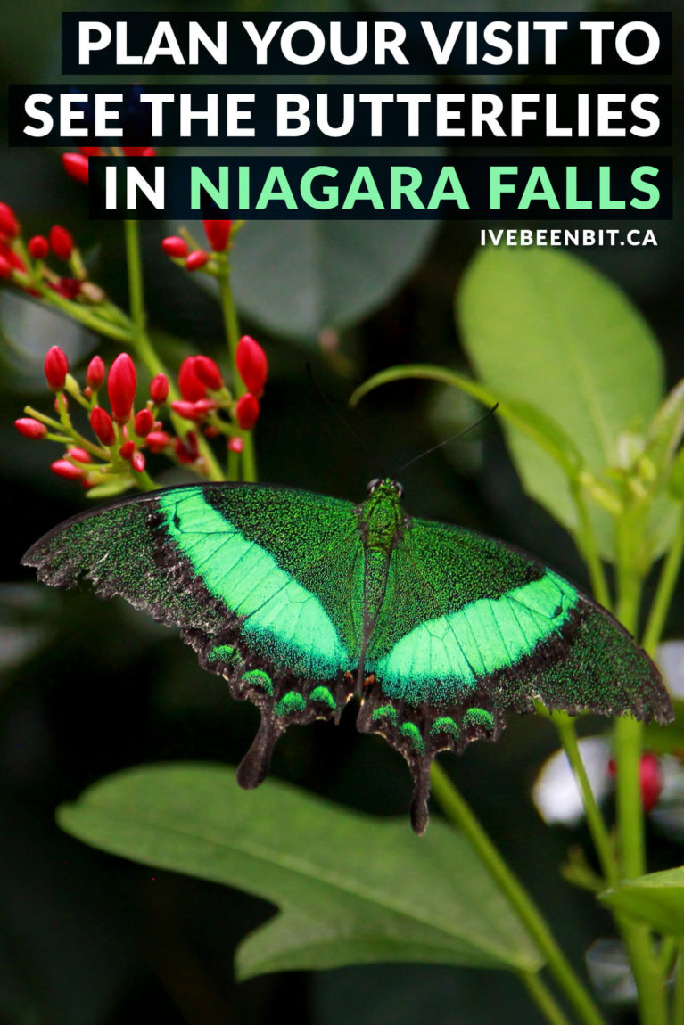 No matter what time of the year it is, you need to visit the Niagara Parks Butterfly Conservatory. This is one of the best indoor attractions in Niagara Falls and its beauty will sweep you of your feet as you're surrounded by over 2000 butterflies flying free around you! | Niagara Falls Canada Tips | Things to Do in Niagara Falls Ontario Canada | IveBeenBit.ca