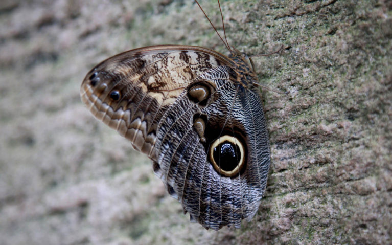 Owl Butterfly on a Tree Trunk :: I've Been Bit! Travel Blog