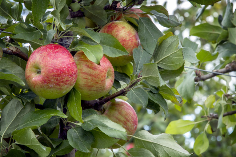 Apple Picking T&K Ferri Orchards Apples in Grey County Ontario :: I've Been Bit! A Travel Blog