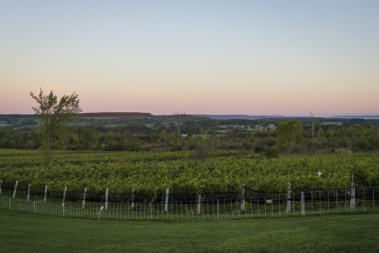 Beautiful sunrise over the Coffin Ridge vineyards in Grey County :: I've Been Bit! Travel Blog
