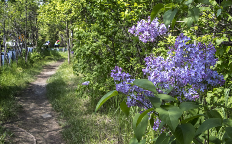 Lilacs Along the Bruce Trail Near Borer's Falls :: I've Been Bit! Travel Blog