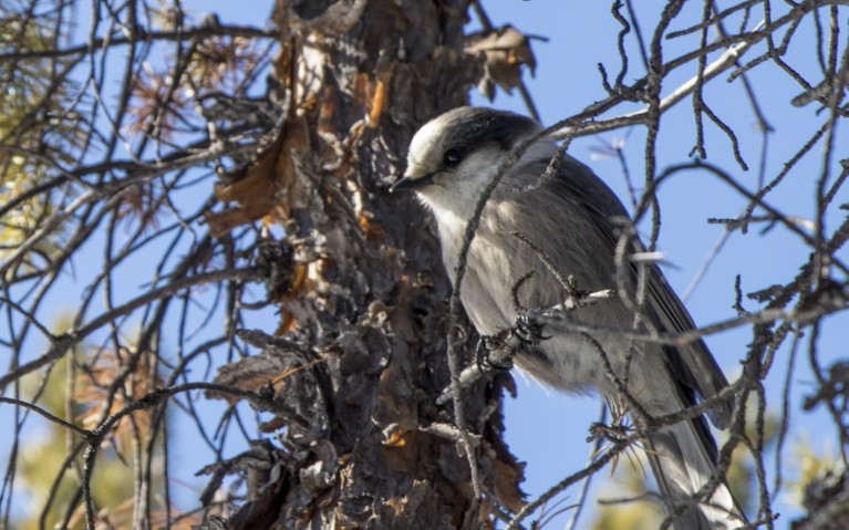 Canada's National Bird - the Gray Jay! :: I've Been Bit! A Travel Blog