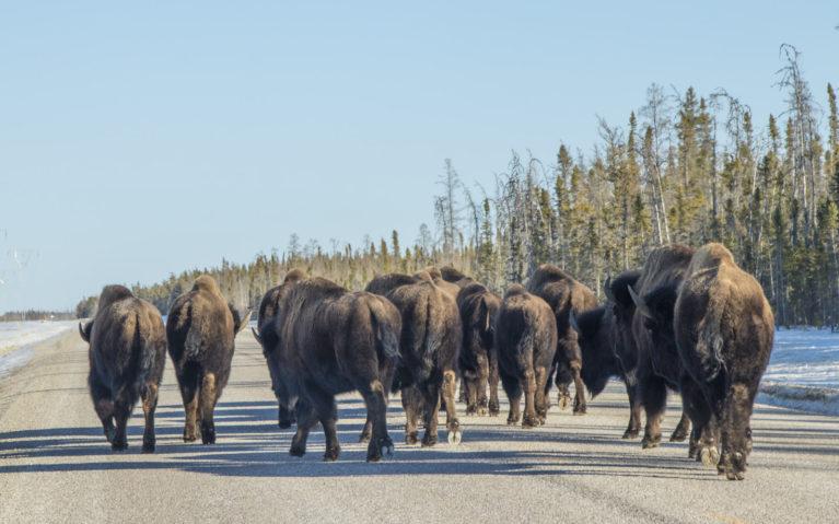 The Bison of Wood Buffalo National Park :: I've Been Bit! A Travel Blog