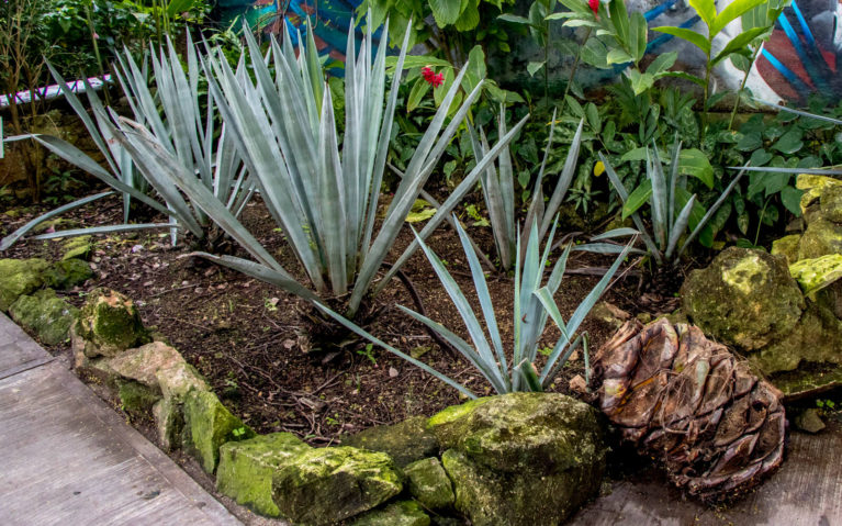 Blue Agave Plants and a Heart on the Cozumel Free Tequila Tour :: I've Been Bit! A Travel Blog