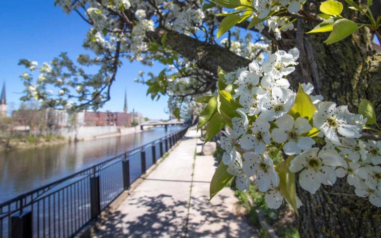 Cherry Blossom Tree in Cambridge Ontario :: I've Been Bit! Travel Blog