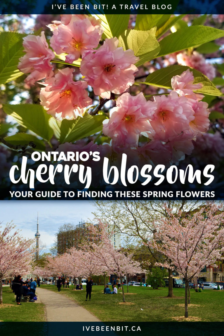 Cherry blossom tree viewing in Ontario, Canada. Enjoy these tranquil Japanese blossoms in Toronto, Mississauga, Niagara, Burlington and more. | #Travel #Canada #Ontario #CherryBlossomTree #CherryBlossom #Mississauga #TravelGuide #OntarioTourism #ThingsToDo | IveBeenBit.ca