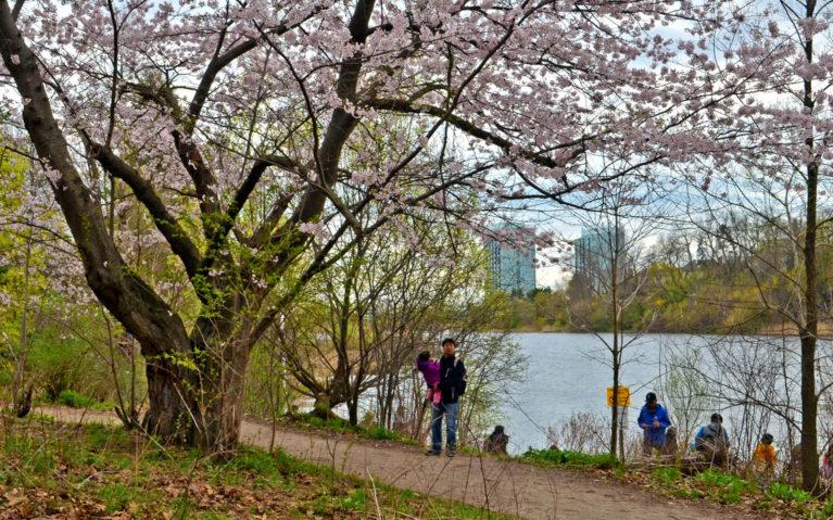 Cherry Trees In Front of Grenadier Pond in Toronto's High Park :: I've Been Bit! Travel Blog