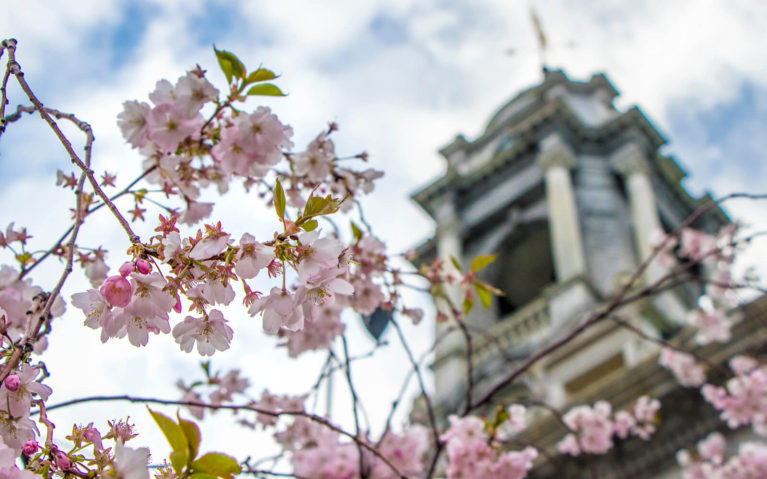 Cherry Blossoms Outside of City Hall in Portland, Maine :: I've Been Bit! Travel Blog