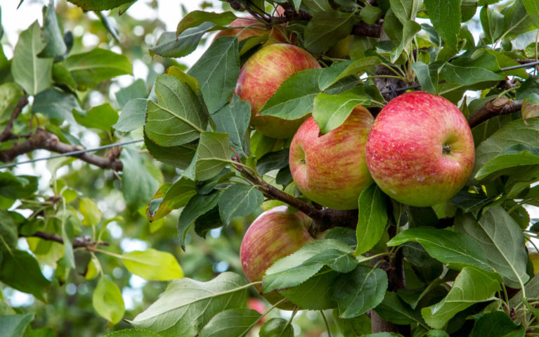 Apples Waiting to Be Picked in Grey County Ontario :: I've Been Bit! Travel Blog