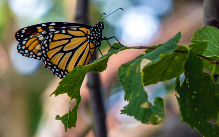 Monarch Butterfly in Point Pelee National Park :: I've Been Bit! Travel Blog