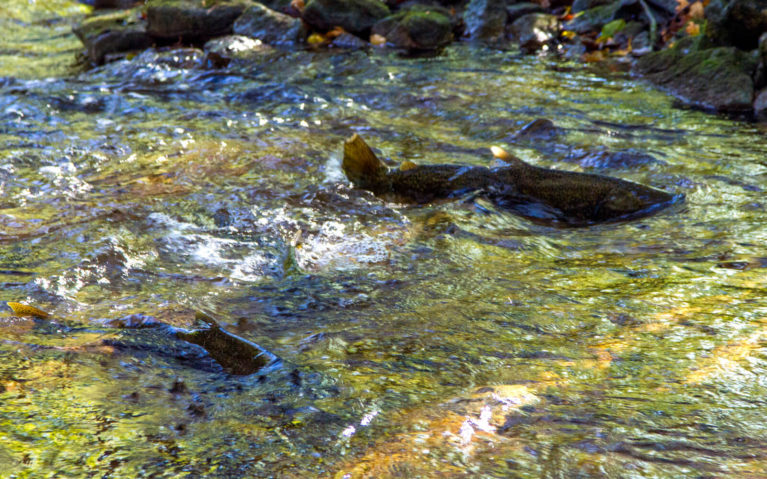 Salmon Spawning Along the Sydenham River in Grey County Ontario :: I've Been Bit! Travel Blog