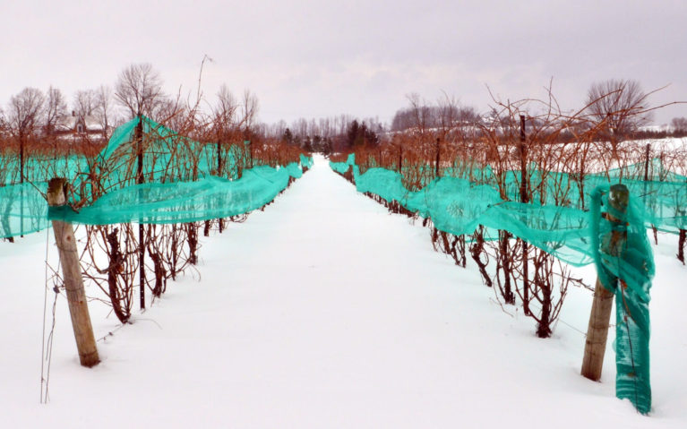 Grape Vines Used for Ice Wine, A Perfectly Canadian Gift :: I've Been Bit! Travel Blog
