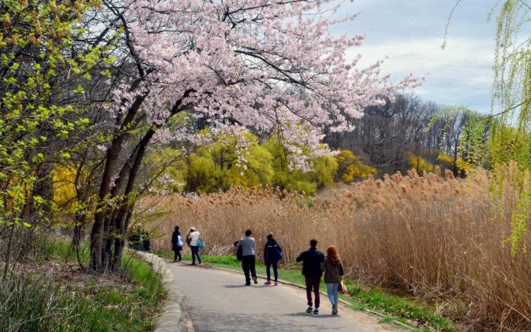 Spring Cherry Blossoms in Toronto :: I've Been Bit! Travel Blog