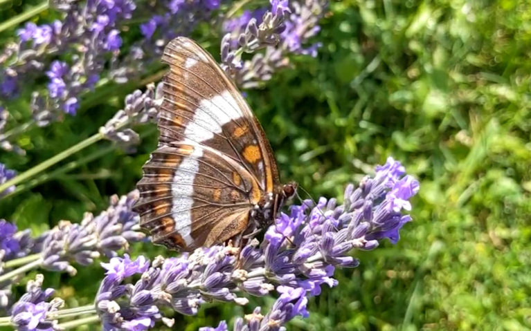 Butterfly In The Lavender Bush :: I've Been Bit! Travel Blog
