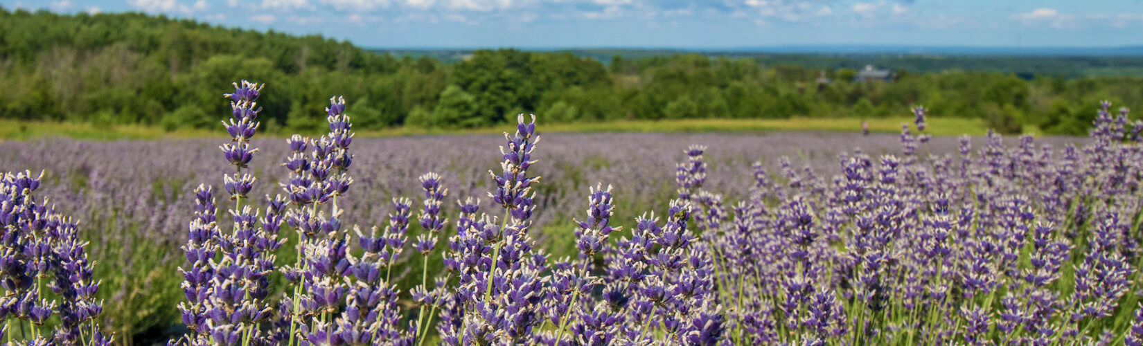 Ontario Lavender Farms: Perfect for a Summer Adventure :: I've Been Bit! Travel Blog
