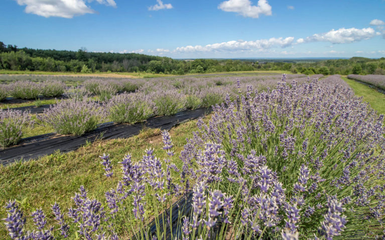 The Rolling Fields You'll Find on These Ontario Lavender Farms :: I've Been Bit! Travel Blog