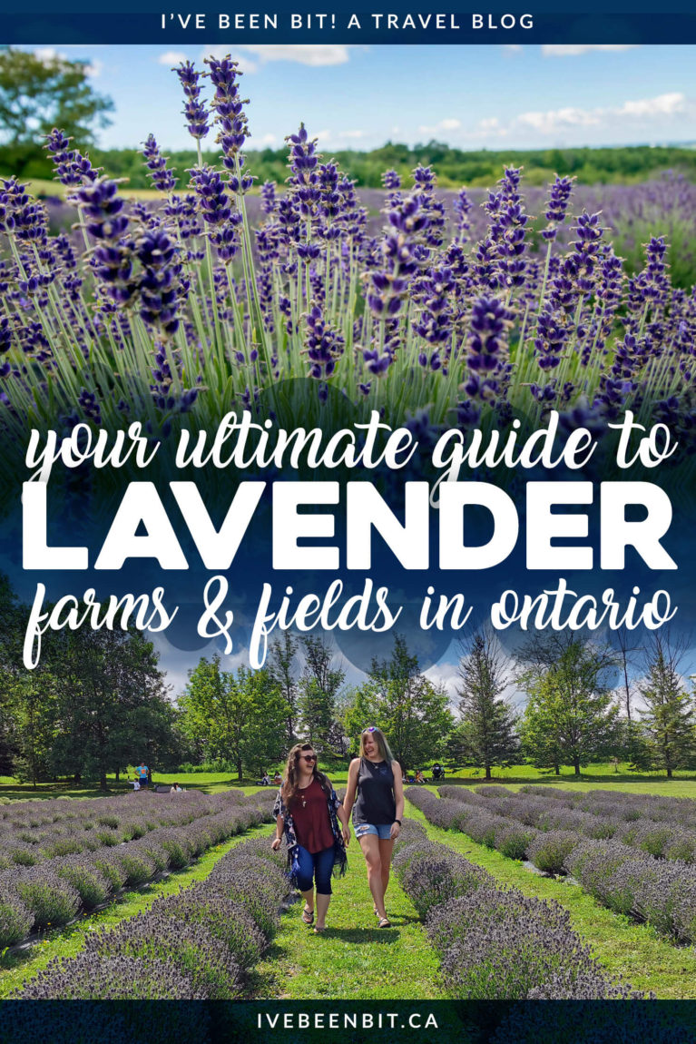 Did you know Ontario is home to 20+ lavender farms and fields? If you're looking for a summer day trip in Ontario, you need to visit one of these Ontario lavender farms! Includes Terre Bleu Lavender Farm, Prince Edward County Lavender Farms and many more! | Lavender farms in Ontario Canada | Ontario day trips | Summer in Ontario | IveBeenBit.ca