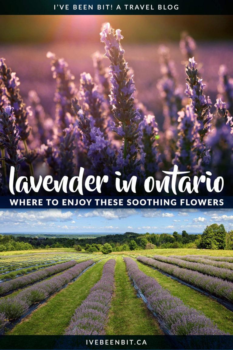 Lavender Farms in Ontario Canada | Ontario Lavender Farms | Summer Day Trips from Toronto | Lavender Farms in Southern Ontario | Terre Bleu Lavender Farm | Prince Edward County Lavender Farm | Ontario Road Trip Ideas | Exploring Ontario Canada | Lavender in Ontario | IveBeenBit.ca