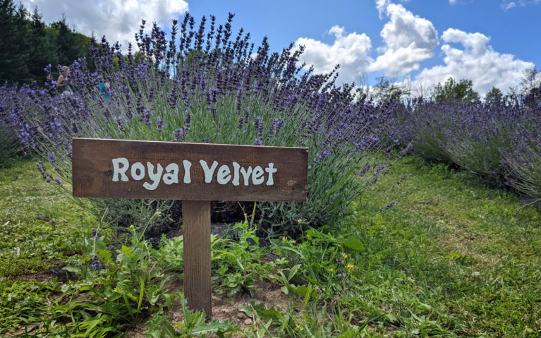 Wooden Label In Front of Ontario Lavender Plant :: I've Been Bit! Travel Blog