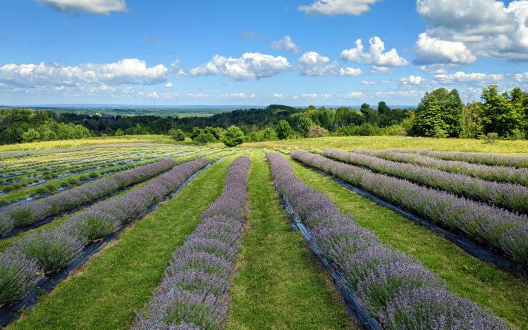 Rolling Hills of Ontario Lavender Plants :: I've Been Bit! Travel Blog