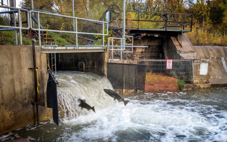 Fish Ladder Near Downtown Bowmanville with Salmon Spawning :: I've Been Bit! Travel Blog