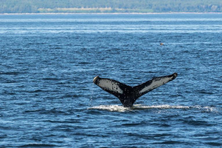 Whale in the Saguenay–St. Lawrence Marine Park - Photo Credit: Mathieu Dupuis/Le Québec maritime