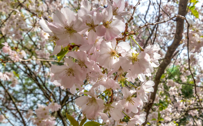 Close Up of Pink Cherry Blossoms in Niagara :: I've Been Bit! Travel Blog