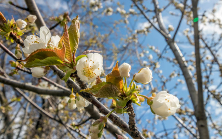 Close Up of Cherry Blossoms with Blue Sky :: I've Been Bit! Travel Blog
