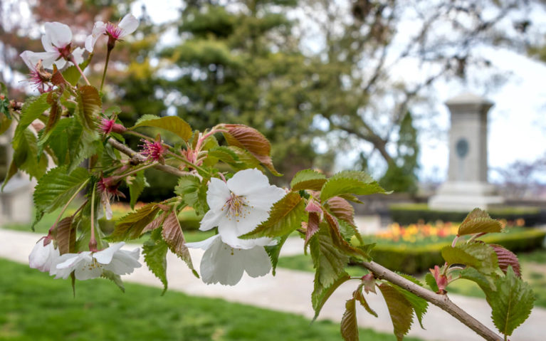 Close Up of Cherry Blossoms in Queenston Heights Park :: I've Been Bit! Travel Blog