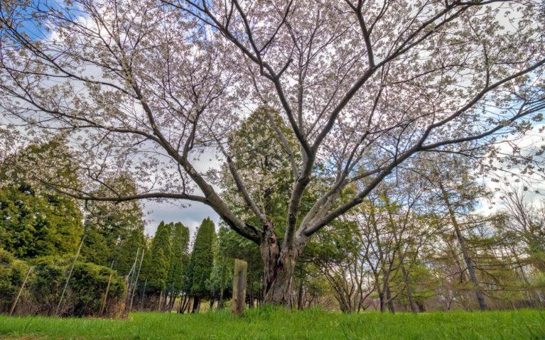 Niagara Falls Cherry Blossoms in the Botanical Garden :: I've Been Bit! Travel Blog