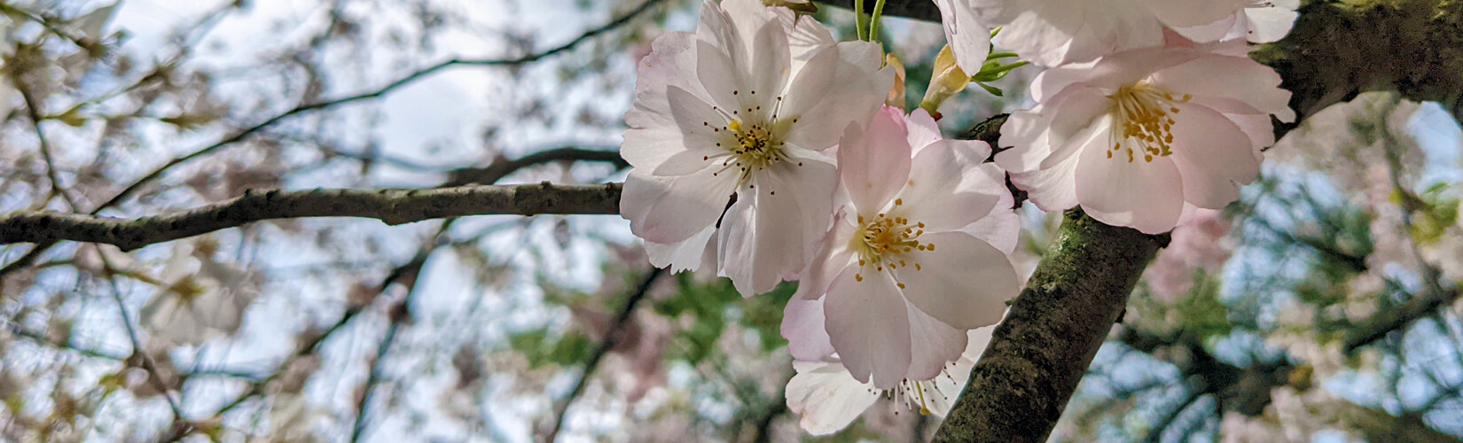 Niagara Cherry Blossoms: Top 7 Spots to Find These Beautiful Blooms :: I've Been Bit! Travel Blog