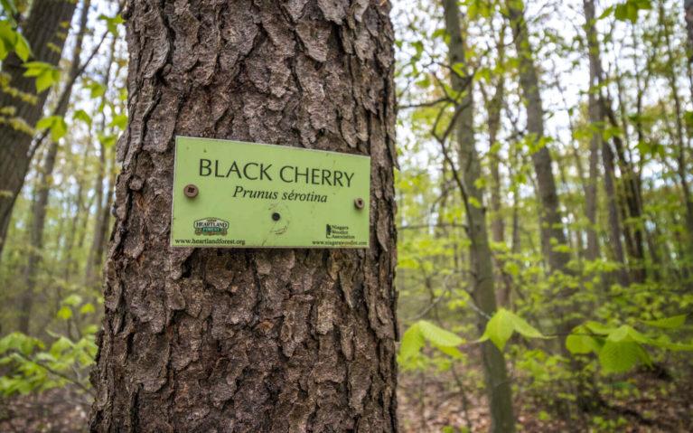 Black Cherry Identification Sign :: I've Been Bit! Travel Blog