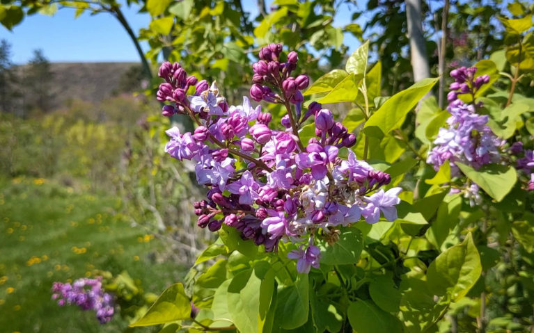 Close Up of the Lilacs at the Centennial Lilac Garden, One of the Free Things to Do in Niagara Falls :: I've Been Bit! Travel Blog