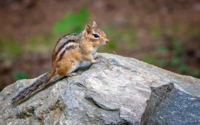 Chipmunk at Silent Lake Provincial Park :: I've Been Bit! Travel Blog